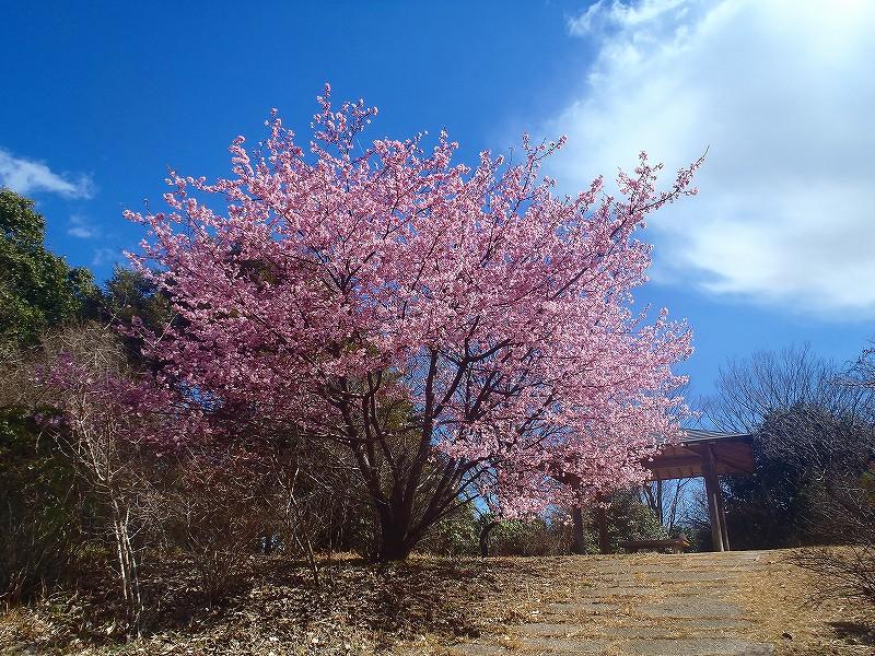 昭和記念公園での桜の前撮り