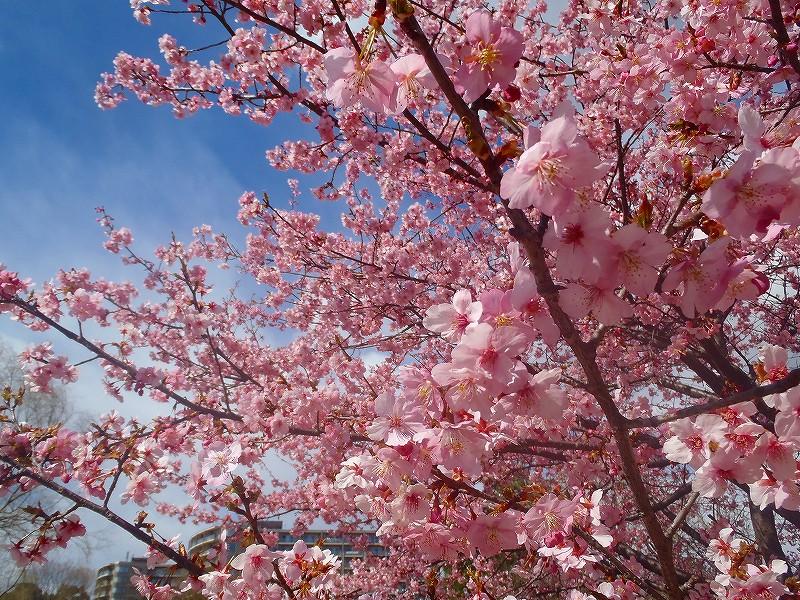 昭和記念公園の桜ロケーション前撮り